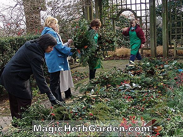 Ilex opaca (American Wreath Holly) - #2