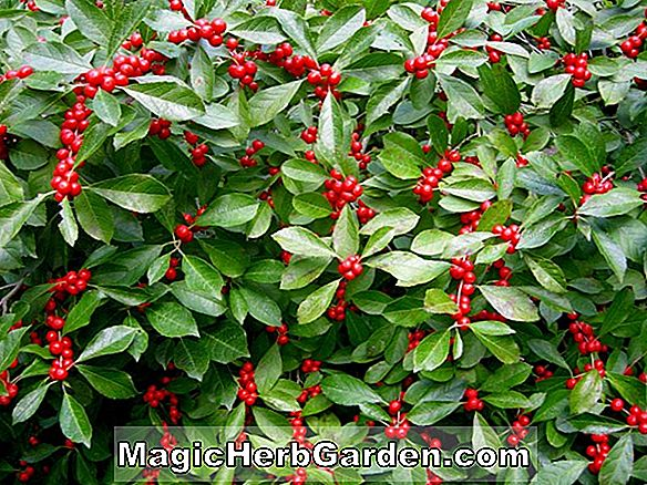 Planter: Ilex verticillata (Red Sprite Holly)