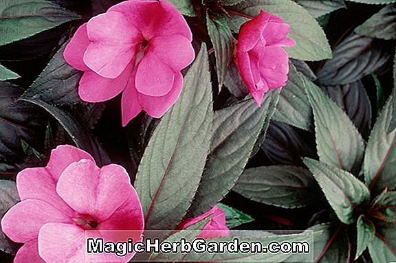 Impatiens (New Guinea Group)
