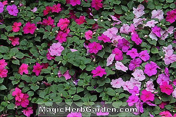 Planter: Impatiens walleriana (travl Lizzie)