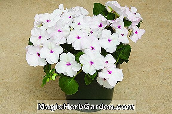 Impatiens walleriana (Accent Series)