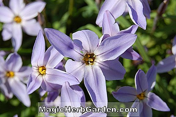 Ipheion uniflorum (Froyle Mill)