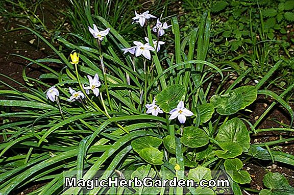 Ipheion (Ipheion)