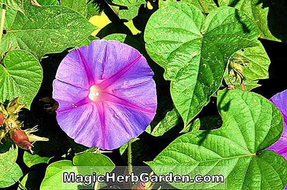 Ipomoea acuminata (Morning Glory)