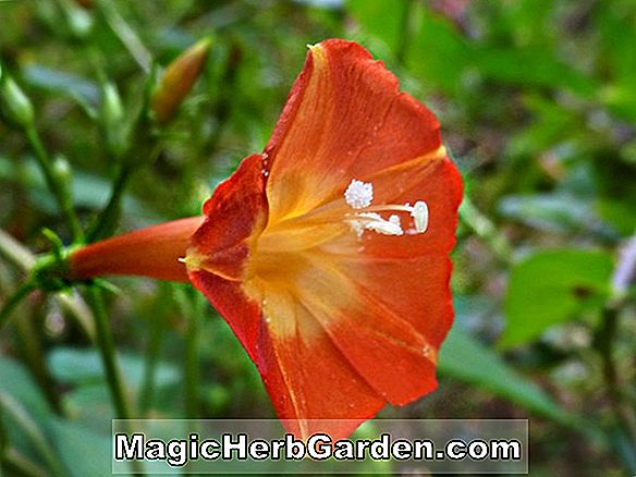 Ipomoea coccinea (Red Morning Glory)
