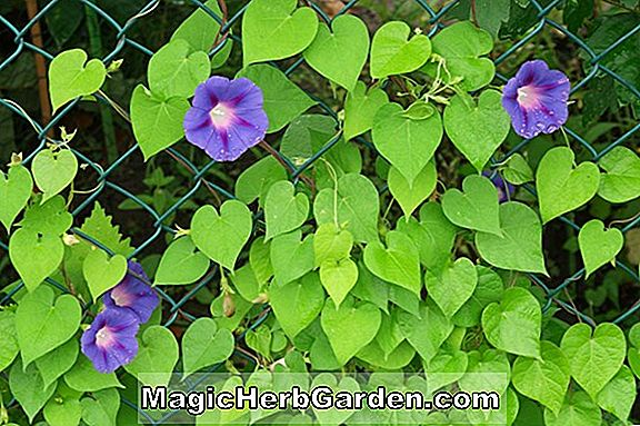 Planter: Ipomoea (Morning Glory)