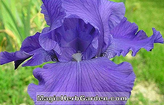 Iris (Dover Beach Tall Bearded Iris)