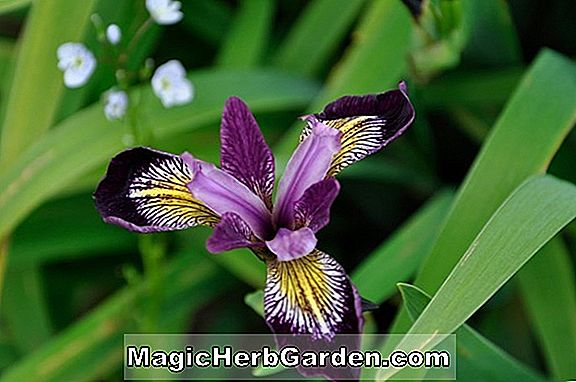 Planter: Iris (Dreaming Yellow Iris)