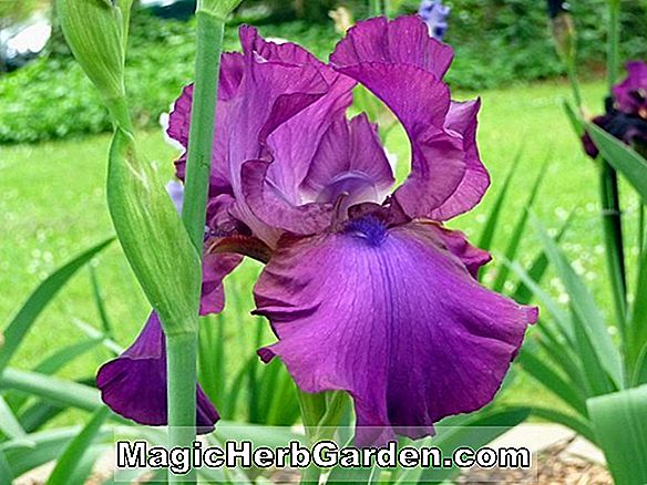 Iris (Frosted Velvet Miniature Tall Bearded Iris)