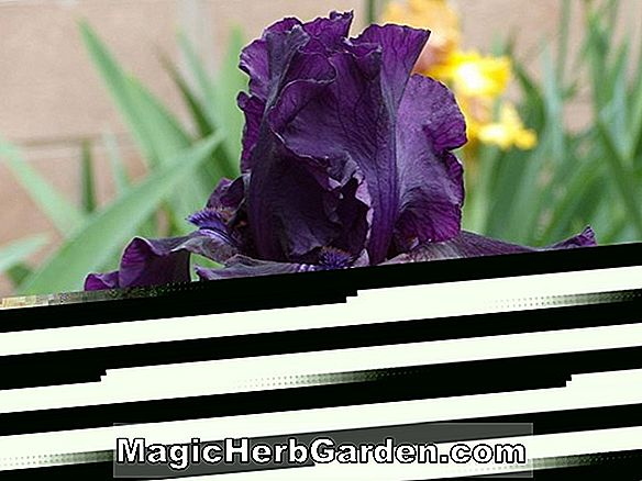 Iris (Magic Man Tall Bearded Iris)