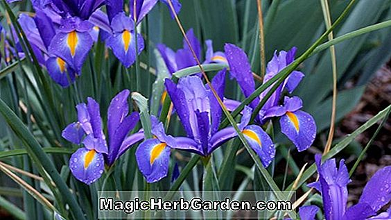 Iris (Prairie Twilight Japanese Beardless Iris)