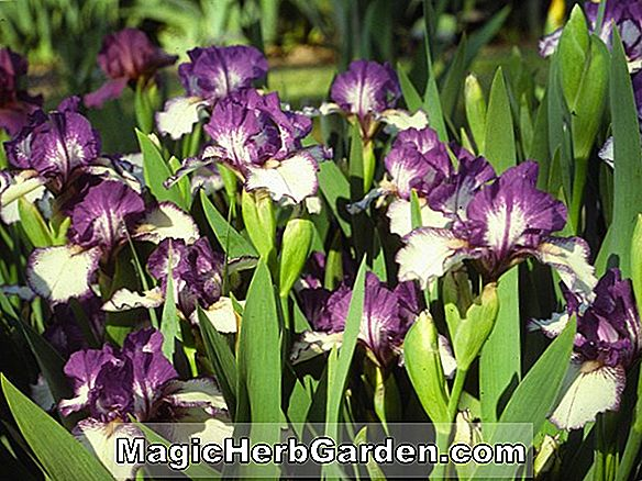 Planter: Iris (Rare Edition Intermediate Bearded Iris)