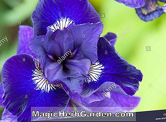 Iris (Sky Hooks Tall Bearded Iris)