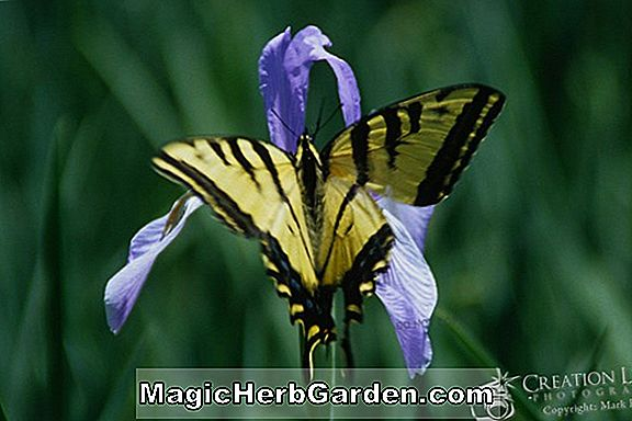 Planter: Iris (Silverado Tall Bearded Iris)
