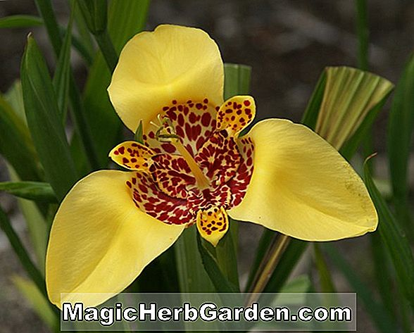 Planter: Tigridia pavonia (Mexican Shell Flower)