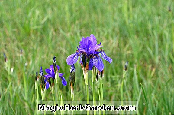 Iris (Norton Sunlight Iris) - #2