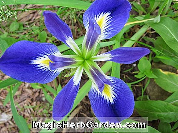 Iris foliosa (Louisiana Iris)