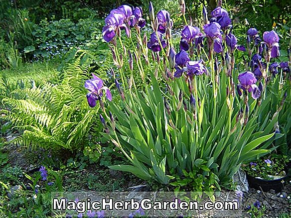 Planter: Iris Germanica (Fascination Iris)