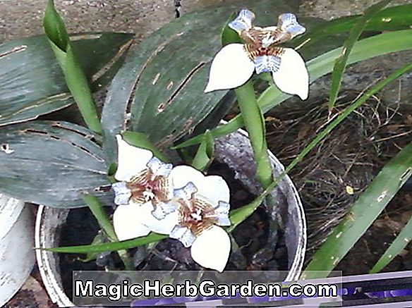 Planter: Iris Germanica (Ebony Queen Iris) - #2