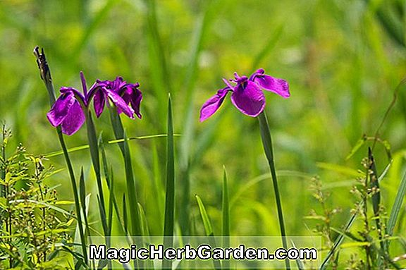 Iris Gracilipes (Crested Iris)