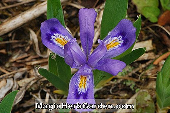 Planter: Iris lacustris (Crested Bearded Iris)