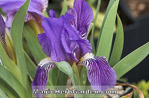 Planter: Iris pumila (Miniature Dwarf Bearded Iris)