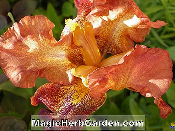 Iris sari (Oncocyclus Bearded Iris)