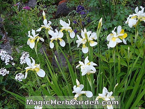 Iris (Dreaming Yellow Iris)