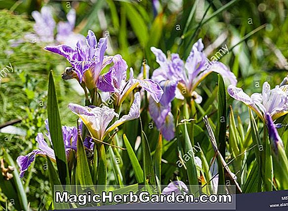 Planter: Iris Tenax (Pacific Coast Beardless Iris)