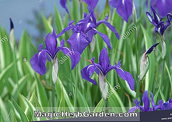 Planter: Iris Variegata (Bearded Iris)