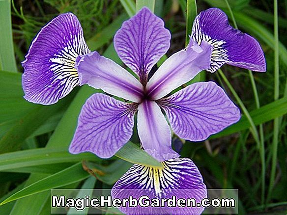 Planter: Iris virginica (Bearded Iris)