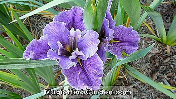 Iris (Acadian Miss Louisiana Iris)