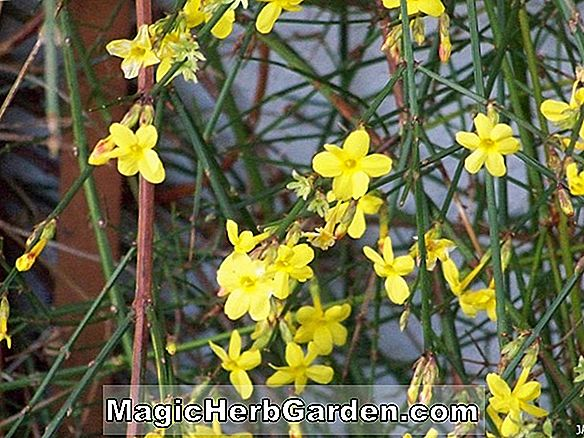 Planter: Jasminum nudiflorum (Winter Jasmine)