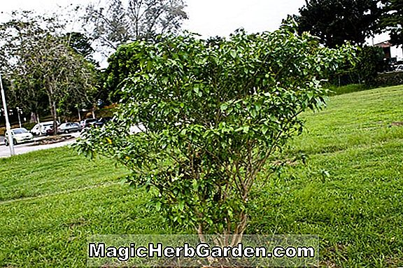 Planter: Jasminum Sambac (Grand Duke of Tuscany Jasmine)