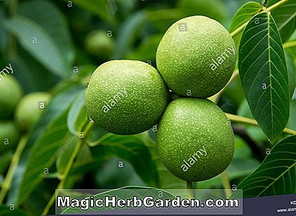 Juglans microcarpa (Texas Walnut)