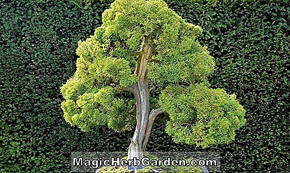 Planter: Juniperus chinensis (Blaauw Chinese Juniper)