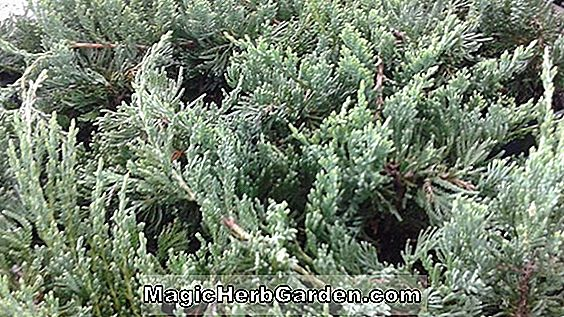 Juniperus chinensis (Kuriwao Sunburst Chinese Juniper)
