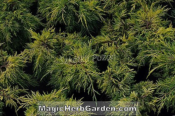 Juniperus chinensis (Procumbens Juniper)