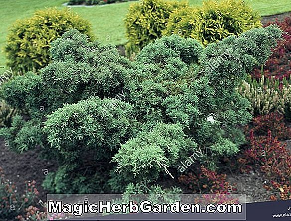 Juniperus chinensis (Gold Star Chinese Juniper)