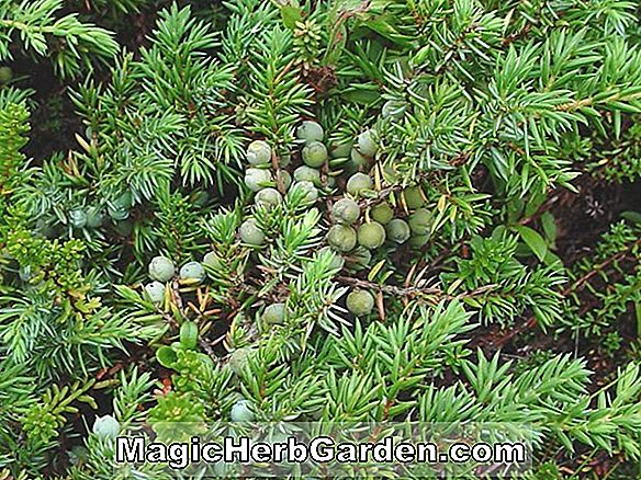Juniperus communis (Hornibrookii Common Juniper)