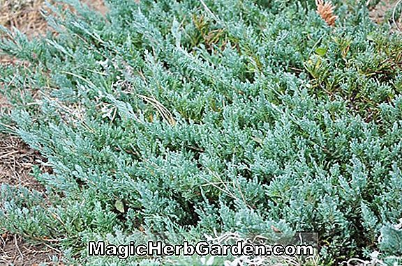 Juniperus horizontalis (Marcella Creeping Juniper)