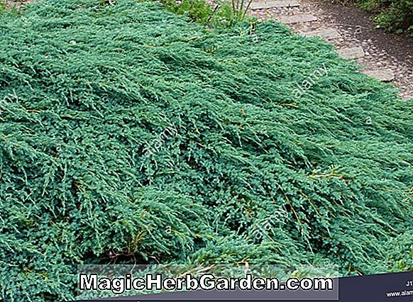 Planter: Juniperus horizontalis (Wisconsin Creeping Juniper)