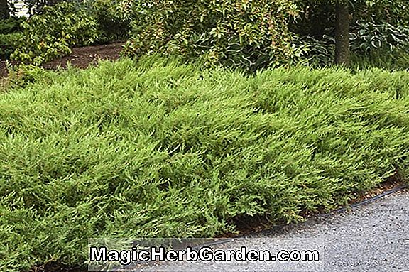 Juniperus horizontalis (Alpine Creeping Juniper)