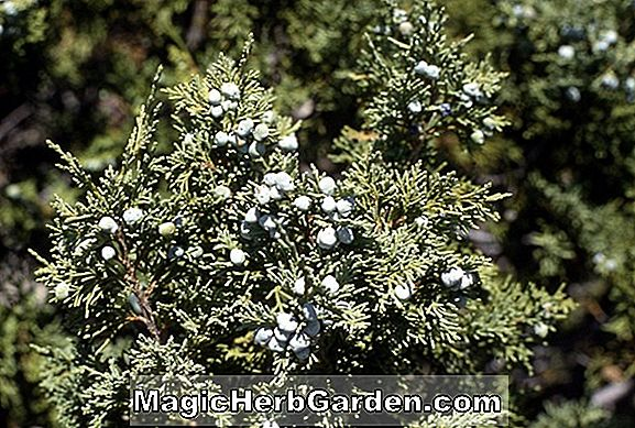 Juniperus scopulorum (Hillborne Silver Globe Juniper)