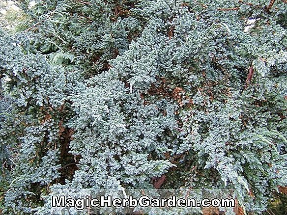 Planter: Juniperus scopulorum (Medora Juniper)