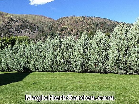 Juniperus scopulorum (Blue Heaven Juniper)