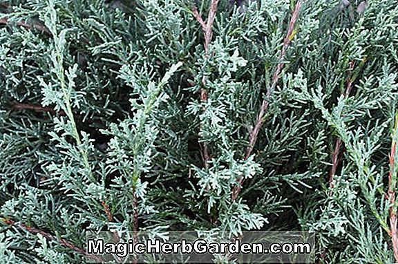 Planter: Juniperus virginiana (Princeton Sentry Juniper)