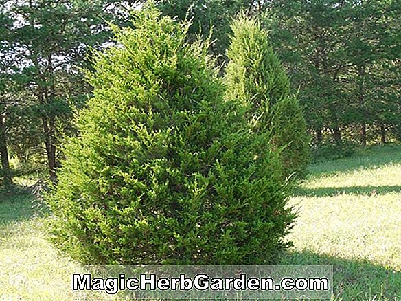 Juniperus virginiana (Manhattan Blue Juniper)