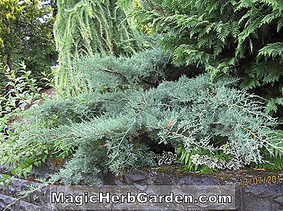 Juniperus virginiana (Grey Owl Juniper)
