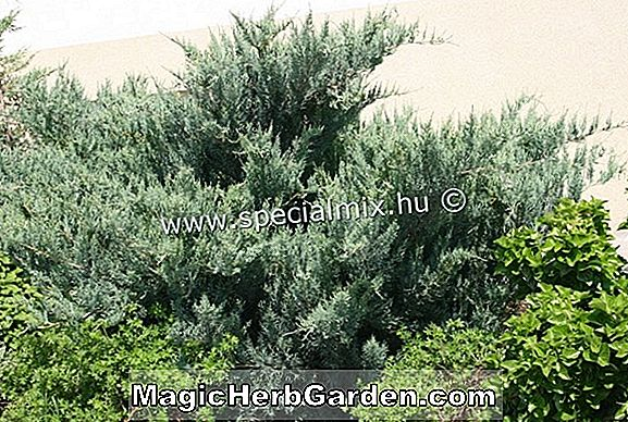 Juniperus virginiana (O'Connor Juniper)